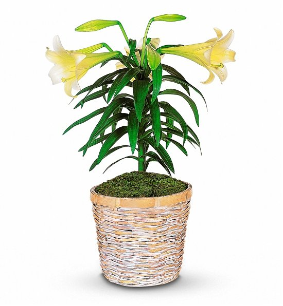 White Easter Lily Potted Plant, Top 5 Business Easter Gifts